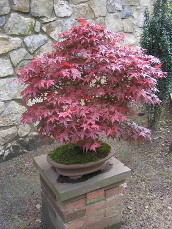 Acer Palmatum Japanese Maple Bonsai