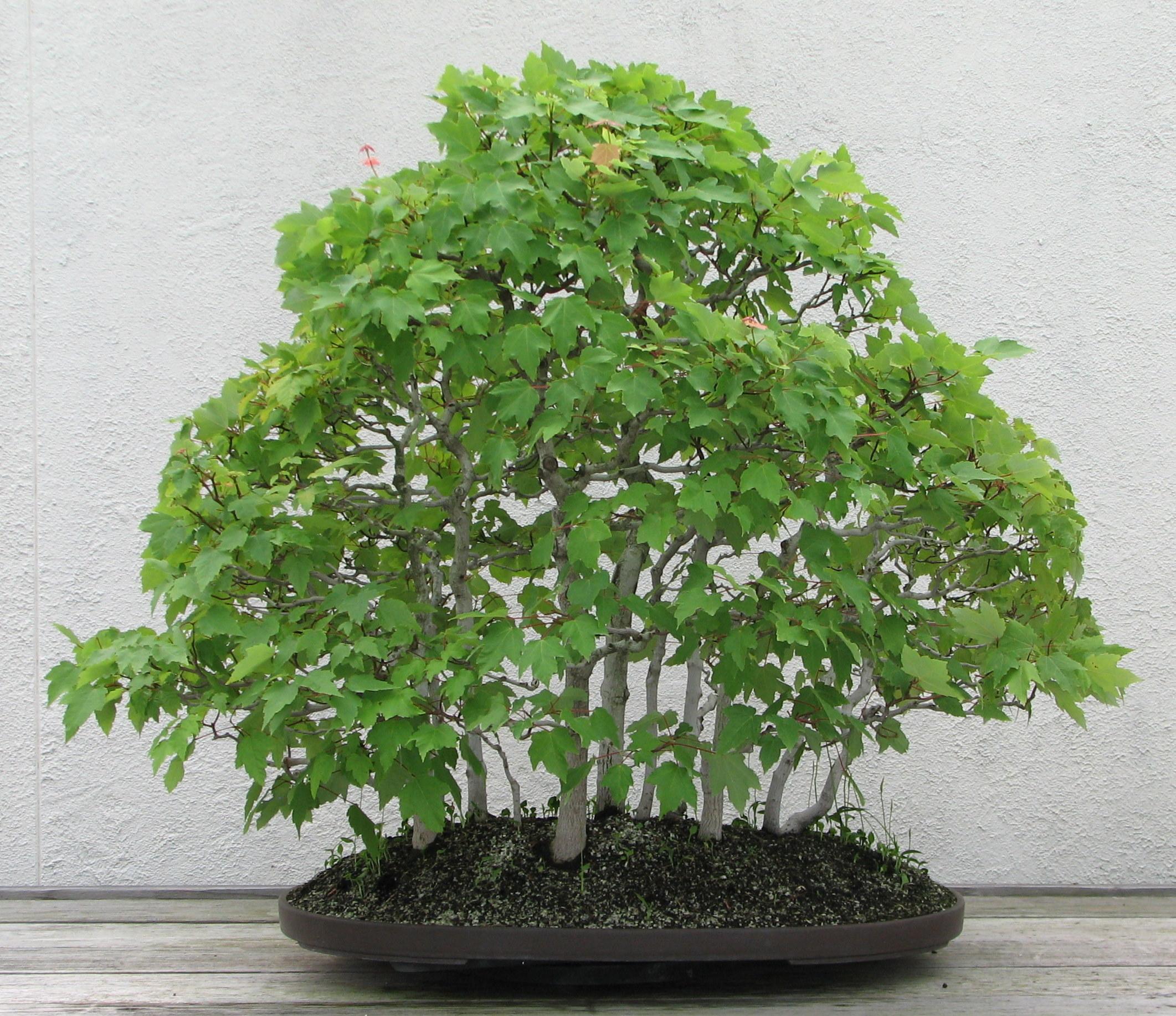 Acer Rubrum Red Maple Bonsai