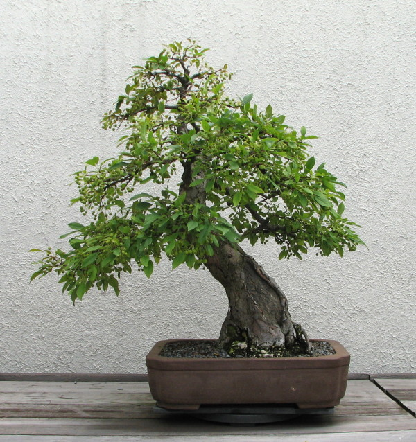 Apple/Crabapple bonsai