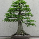 Baldcypress Bonsai