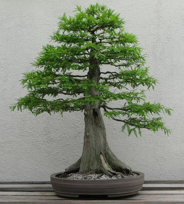Baldcypress Bonsai