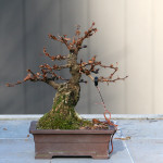 Barberry Bonsai