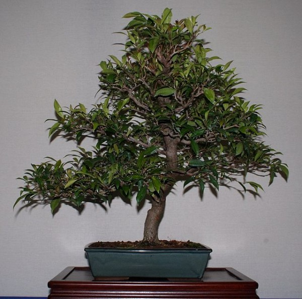Brush cherry Bonsai