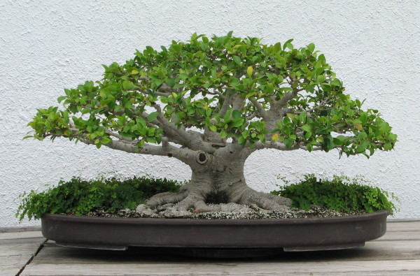 Chinese Banyan Fig Bonsai