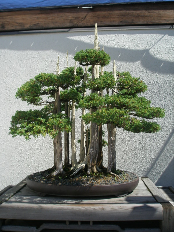 Chinese Juniper Bonsai