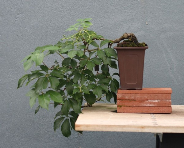 Creeper Bonsai