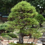 Cupressus Bonsai