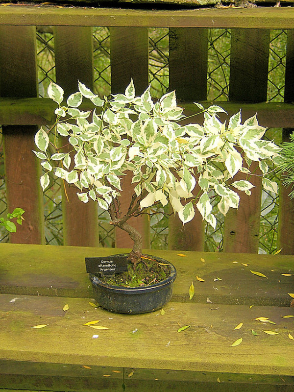 Dogwood_Bonsai