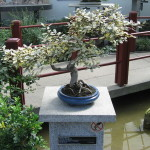 Elaeagnus Bonsai