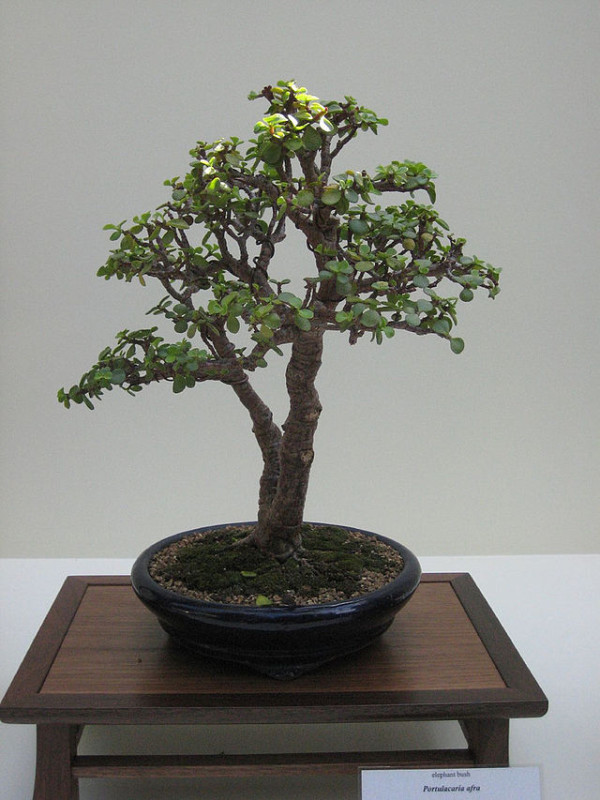 Elephant-bush-Bonsai