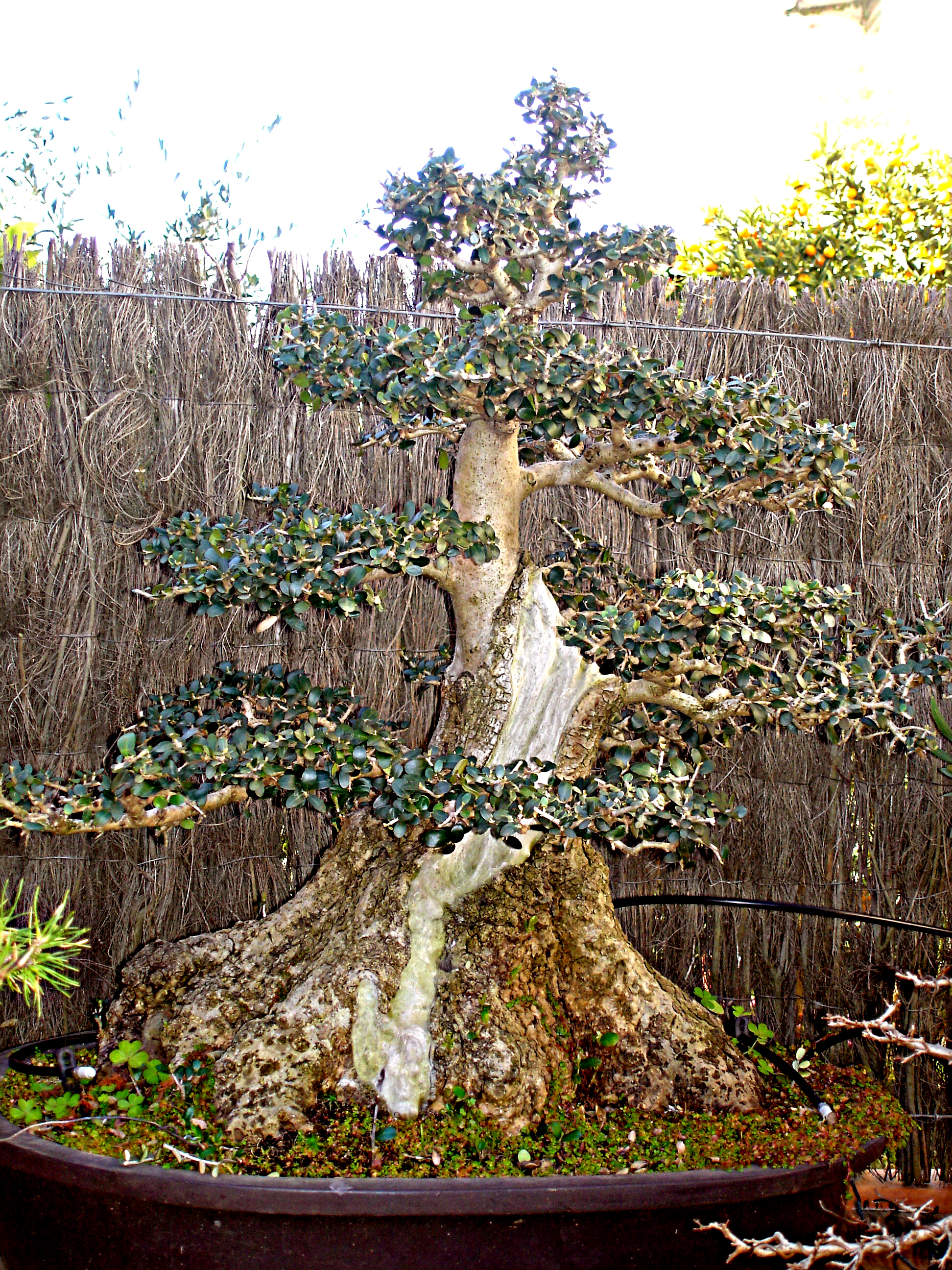 European-olive-Bonsai