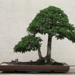 Field Elm Bonsai