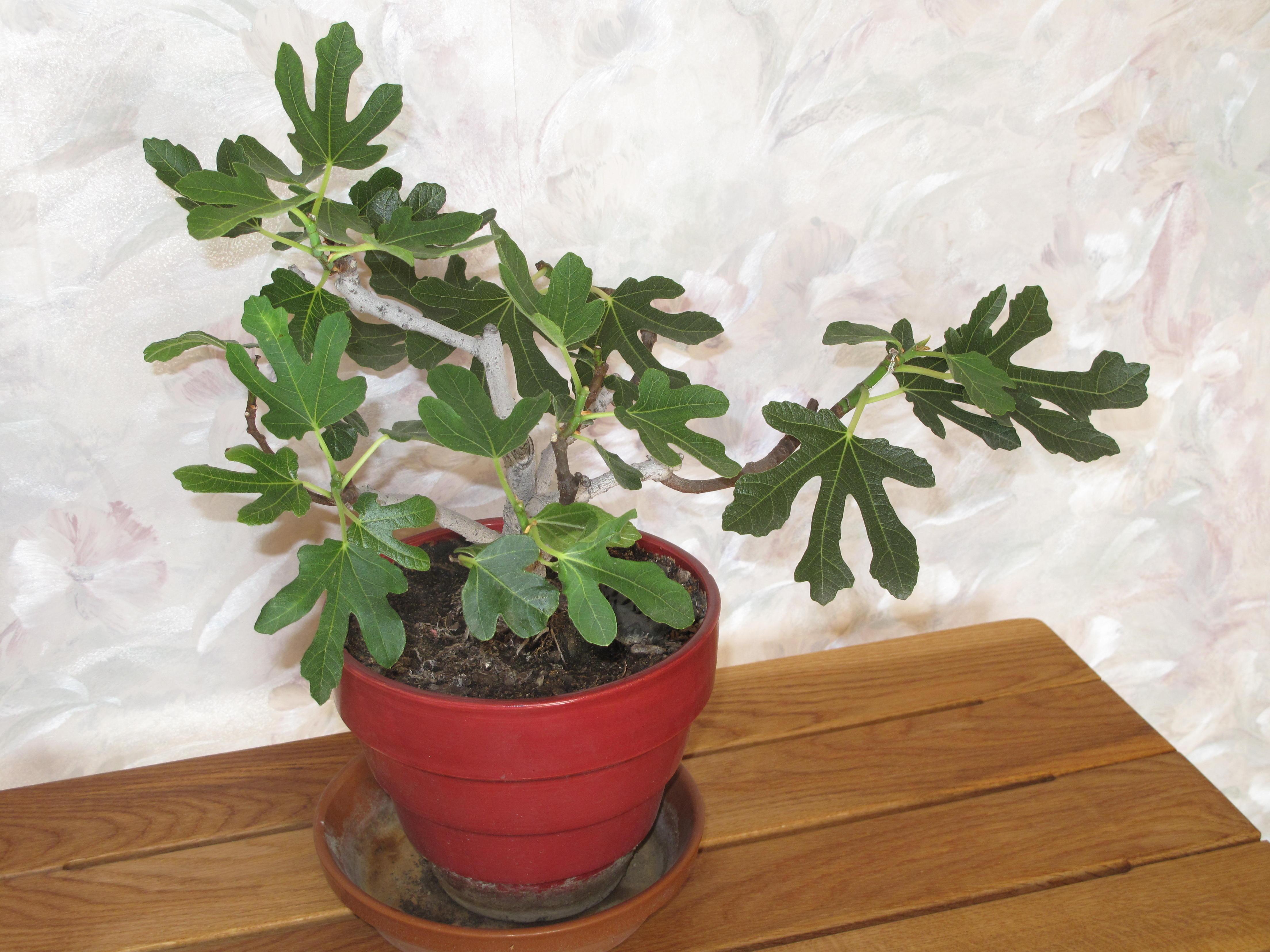 Fig tree, common fig Bonsai