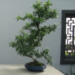 Firethorn Bonsai