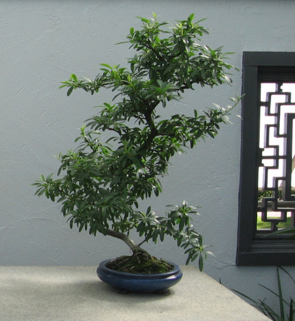 Firethorn-bonsai