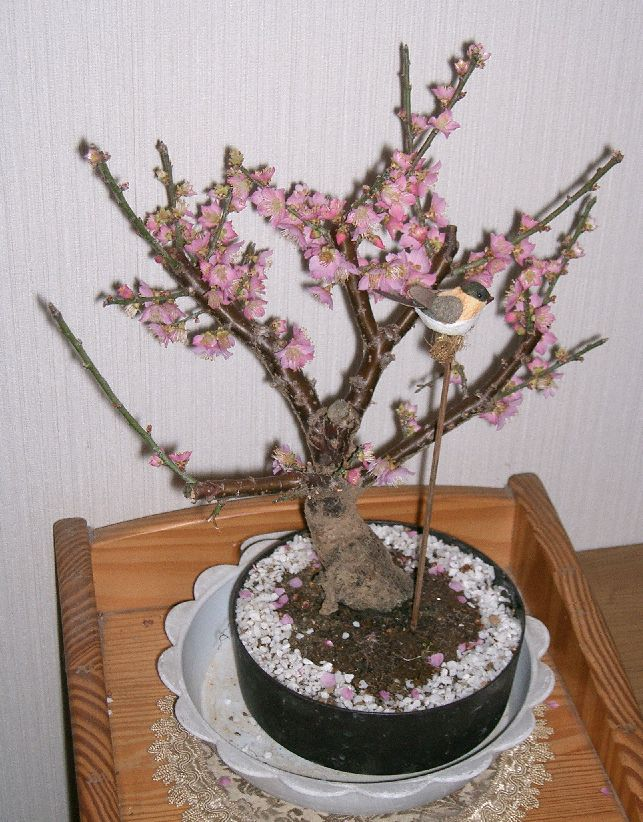 Flowering -Apricot -Bonsai