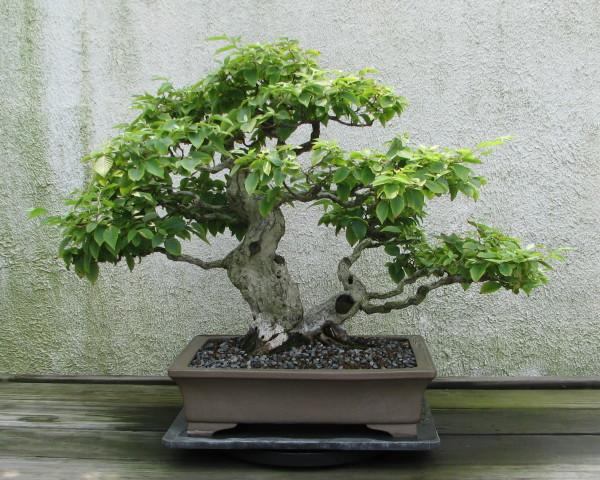Hornbeam Bonsai