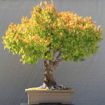 Japanese Elm Bonsai