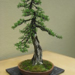 Japanese Larches Bonsai