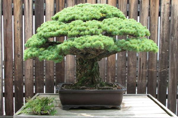 Japanese-White-Pine