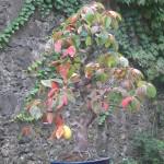 Mangifera Bonsai
