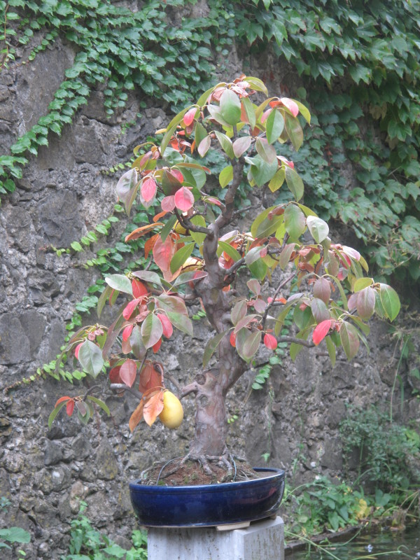 Mangifera bonsai
