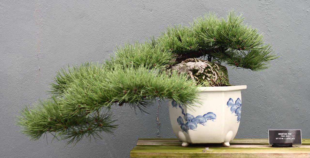 Mugo Pine Bonsai
