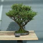 Sawara Cypress Bonsai