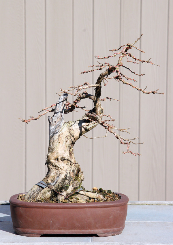 Shrubby Honeysuckles Bonsai