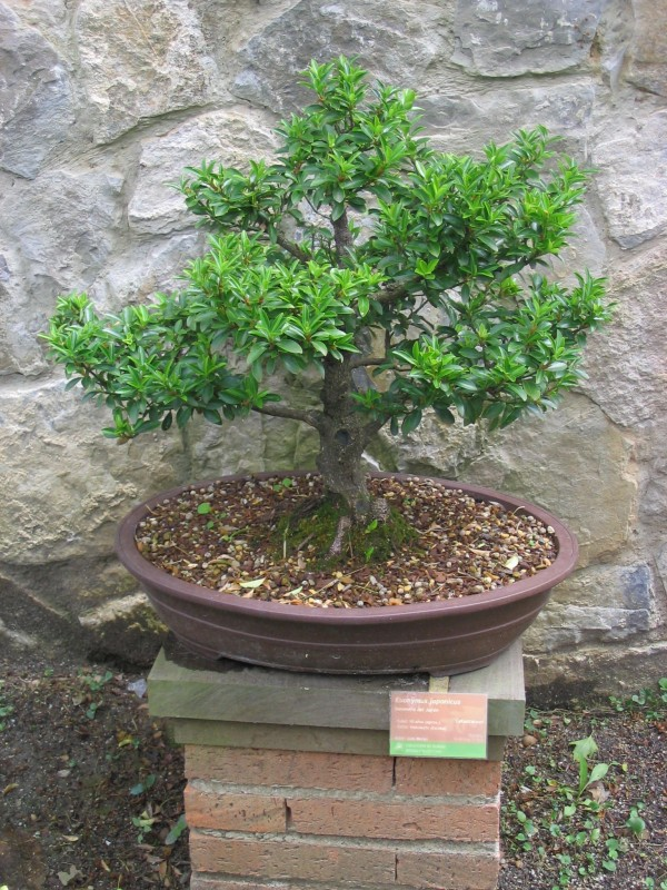 Spindle Bonsai