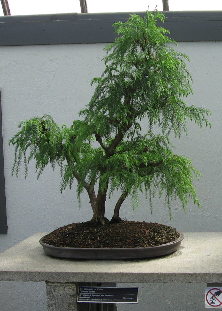 Sugi Bonsai