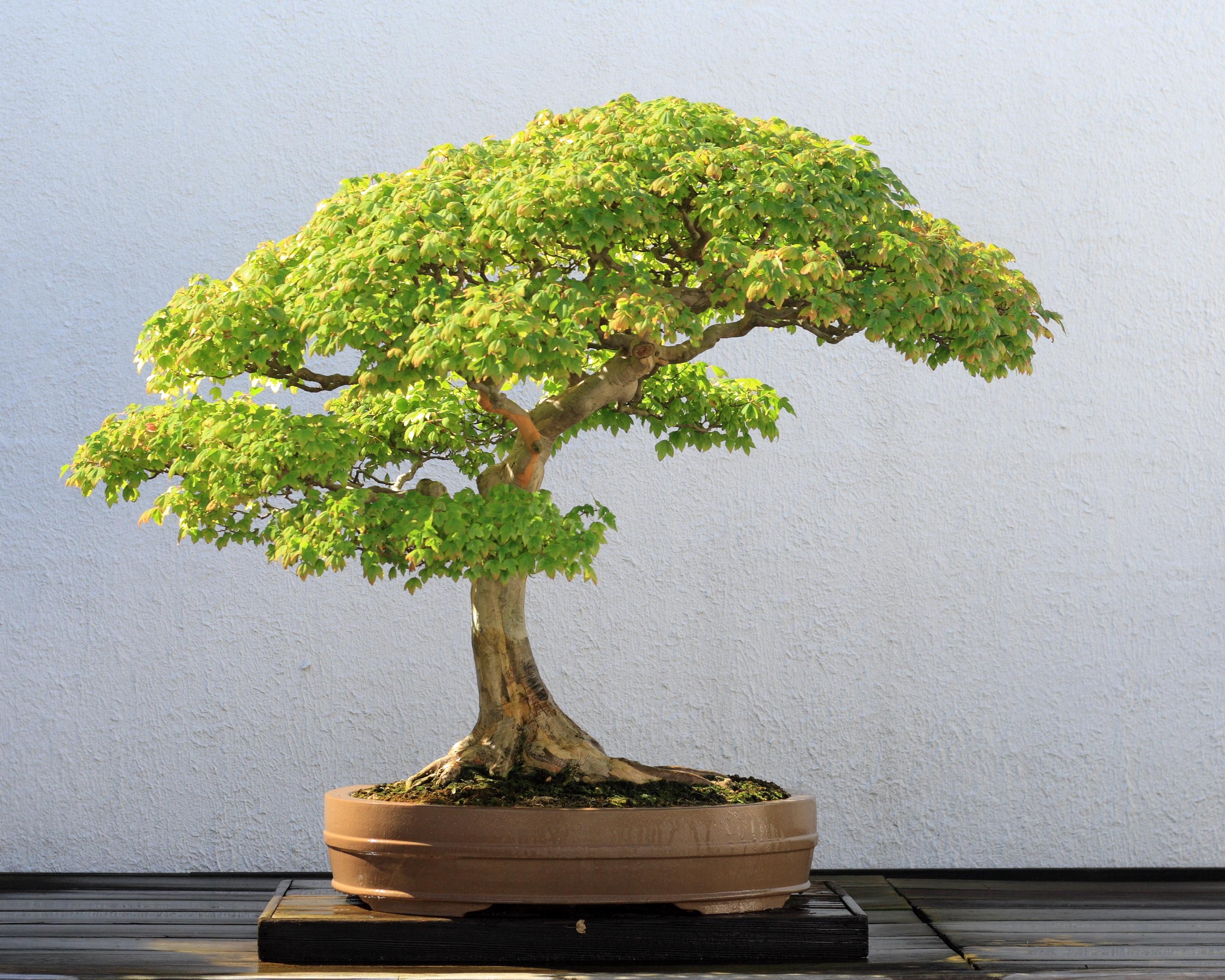Trident Maple Bonsai Acer buergerianum