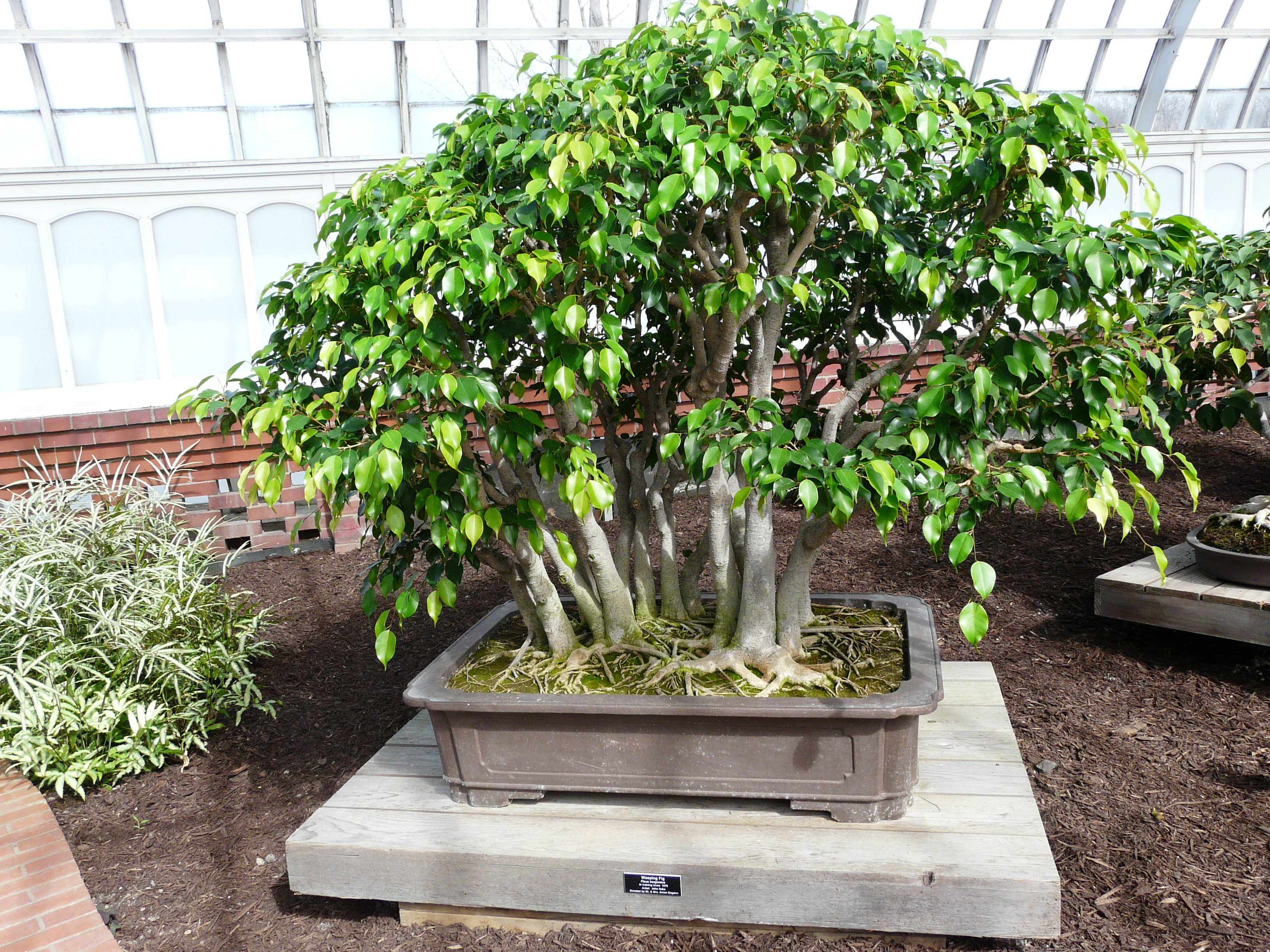 Weeping Fig Bonsai
