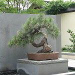 Western Yellow Pine Bonsai